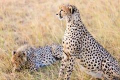 Jachtluipaarden in Masai Mara Stock Afbeelding