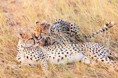 Jachtluipaarden in Masai Mara Royalty-vrije Stock Afbeelding