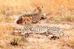 Jachtluipaarden in Masai Mara Stock Afbeeldingen