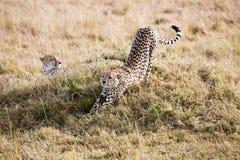 Jachtluipaarden Masai Mara Reserve Kenya Africa Royalty-vrije Stock Afbeeldingen