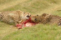 Jachtluipaarden met doden Royalty-vrije Stock Fotografie