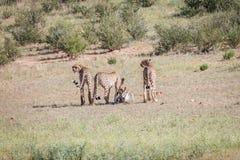 Jachtluipaarden met een doden van de babyspringbok Royalty-vrije Stock Afbeeldingen