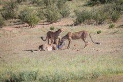 Jachtluipaarden met een doden van de babyspringbok Stock Fotografie