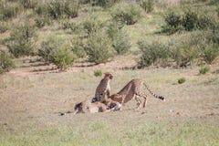 Jachtluipaarden met een doden van de babyspringbok Royalty-vrije Stock Foto's