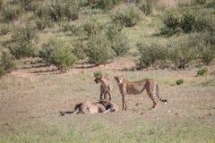 Jachtluipaarden met een doden van de babyspringbok Stock Foto's
