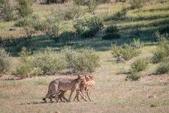 Jachtluipaarden met een doden van de babyspringbok Stock Foto