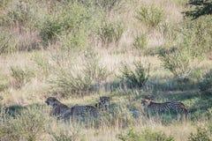 Jachtluipaarden met een doden van de babyspringbok Stock Afbeeldingen
