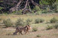 Jachtluipaarden met een doden van de babyspringbok Royalty-vrije Stock Foto