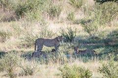 Jachtluipaarden met een doden van de babyspringbok Stock Afbeelding