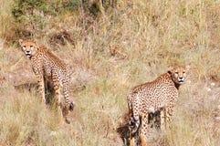 Jachtluipaarden - Namibië Stock Afbeeldingen