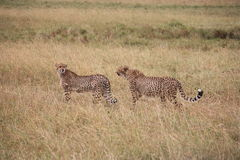 Jachtluipaarden op Masai Mara Royalty-vrije Stock Foto's
