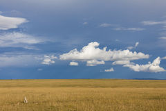 Jachtluipaarden in savanne Royalty-vrije Stock Afbeeldingen