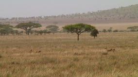 Jachtluipaarden in Serengeti stock video