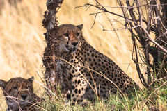 Jachtluipaarden Serengeti Kenia, Afrika Royalty-vrije Stock Afbeelding