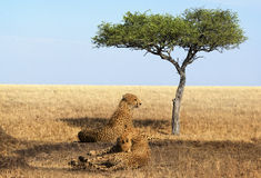 Jachtluipaarden van Masai Mara National Reserve stock afbeelding