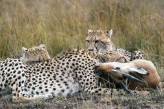 Jachtluipaardfamilie die gevangen en Impala in de Afrikaanse savanne eten stock fotografie
