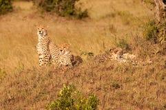 Jachtluipaardfamilie in Kenia stock fotografie