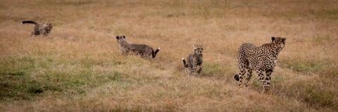 Jachtluipaardgangen door gras door welpen wordt gevolgd die royalty-vrije stock foto's