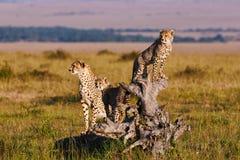 Jachtluipaardmamma en welpen royalty-vrije stock afbeelding