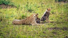 Jachtluipaardmoeder die met twee welpen op savanne spelen royalty-vrije stock foto