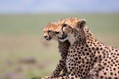 Jachtluipaardmoeder met welpen, Masai Mara Stock Foto