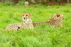 Jachtluipaardpaar royalty-vrije stock foto
