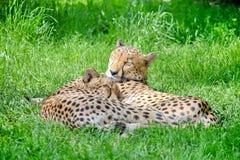 Jachtluipaardpaar die in Gras liggen royalty-vrije stock afbeelding