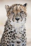 Jachtluipaardportret Zuid-Afrika Stock Foto