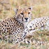 Jachtluipaardrust bij vlaktes van Serengeti Stock Afbeeldingen