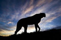 Jachtluipaardsilhouet Dier die omhoog de Heuvel lopen Royalty-vrije Stock Fotografie