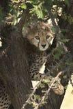 Jachtluipaardwelp in Masai Mara Royalty-vrije Stock Foto's