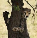 Jachtluipaardwelp in Masai Mara Stock Afbeeldingen