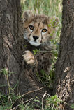 Jachtluipaardwelp in Masai Mara Royalty-vrije Stock Afbeelding