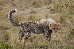 Jachtluipaardwelp in Masai Mara Royalty-vrije Stock Foto
