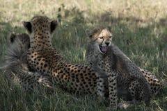 Jachtluipaardwelpen in Masai Mara Royalty-vrije Stock Foto's