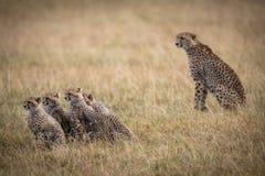 Jachtluipaardzitting achter vier welpen in savanne stock foto's