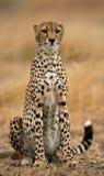 Jachtluipaardzitting in de savanne Close-up kenia tanzania afrika Nationaal Park serengeti Maasai Mara stock foto