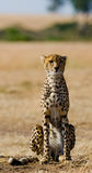 Jachtluipaardzitting in de savanne Close-up kenia tanzania afrika Nationaal Park serengeti Maasai Mara stock fotografie