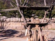 Jachtluipaardzitting en het stellen voor een aardig schot tijdens een zonnige dag op de wildernis stock afbeelding