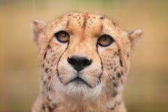 Jachtluipaardzitting in gras die de kijker onder ogen zien stock foto