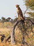 Jachtluipaardzitting op een boom stock afbeelding