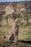 Jachtluipaardzitting in zonneschijn dichtbij doornbomen stock foto's