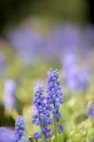 Jacinthe Image stock