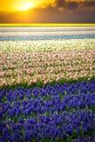 Jacinthe Beau hyacin rose, blanc, jaune et bleu coloré Photographie stock