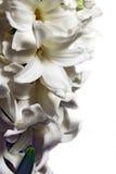 Jacinthe blanche Image stock