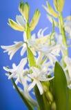 Jacinthe blanche pour Pâques Image libre de droits