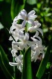 Jacinthe blanche sur un parterre image stock