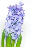 Jacinthe bleue Images libres de droits