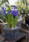 Jacinthe bleue Image libre de droits