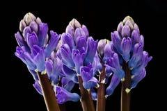 Jacinthe bleue Photographie stock